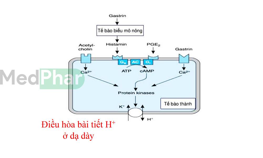 Cơ chế điều hoà tiết acid của Gastrin