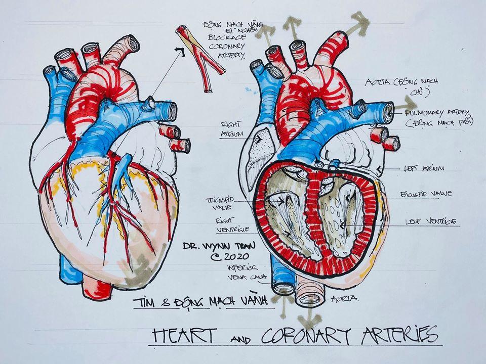 giải phẫu tim